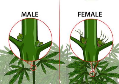 Rostlina konopí
