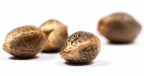 Semena konopí - jak se vyznat v terminologii