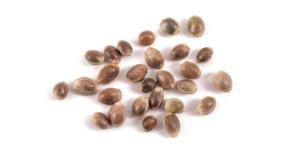 Co jsou feminizovaná semena konopí?