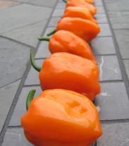 Habanero Chilli (Chilli sušené)