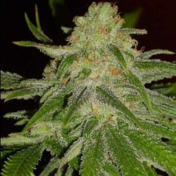 Natural Seeds Cinderella 99 12Ks