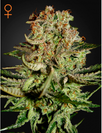 Green House Seeds Super Bud 10ks